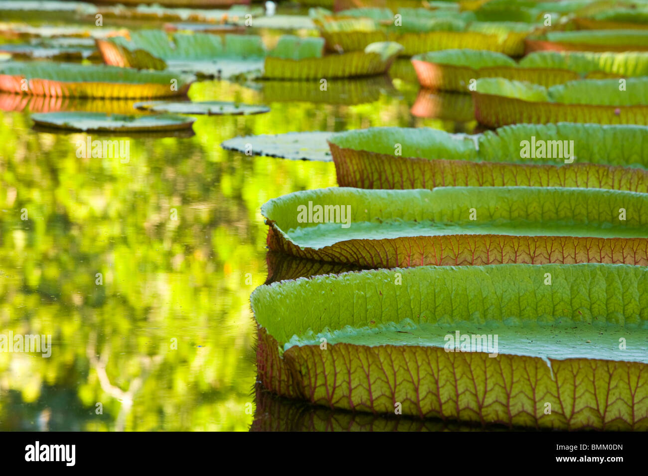 Pond with giant Victoria amazonica water lillies Sir Seewoosagur Ramgoolam Boatanical Gardens Northern Mauritius - Stock Image