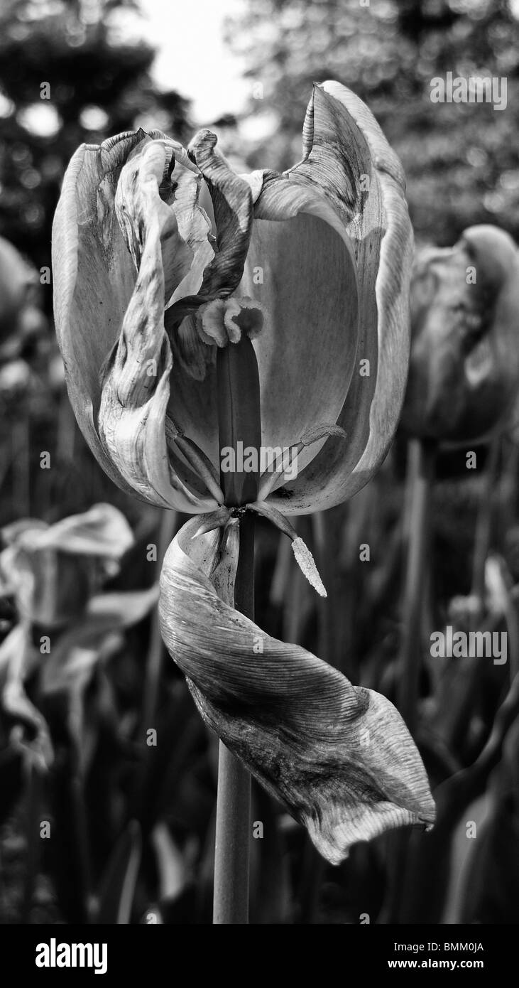 Black and white close-up of a dried dying tulip flowers. - Stock Image