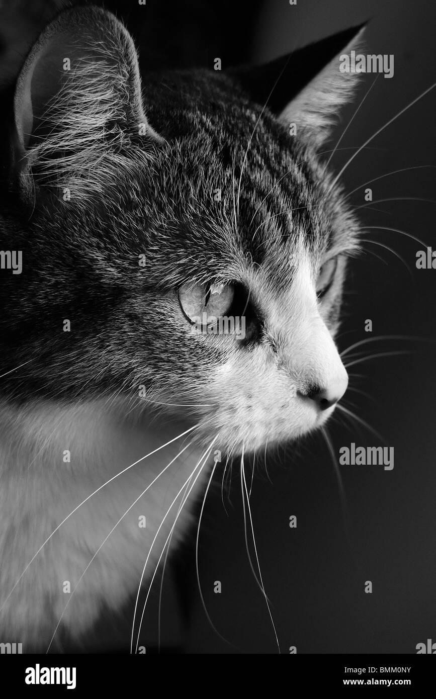 Intensely focused pet cat. - Stock Image