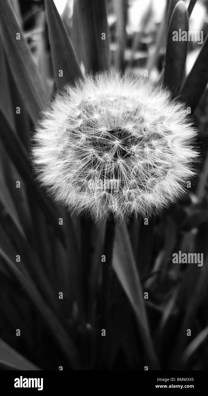 Dandelion in full seed, ready to be blown for a wish - Stock Image
