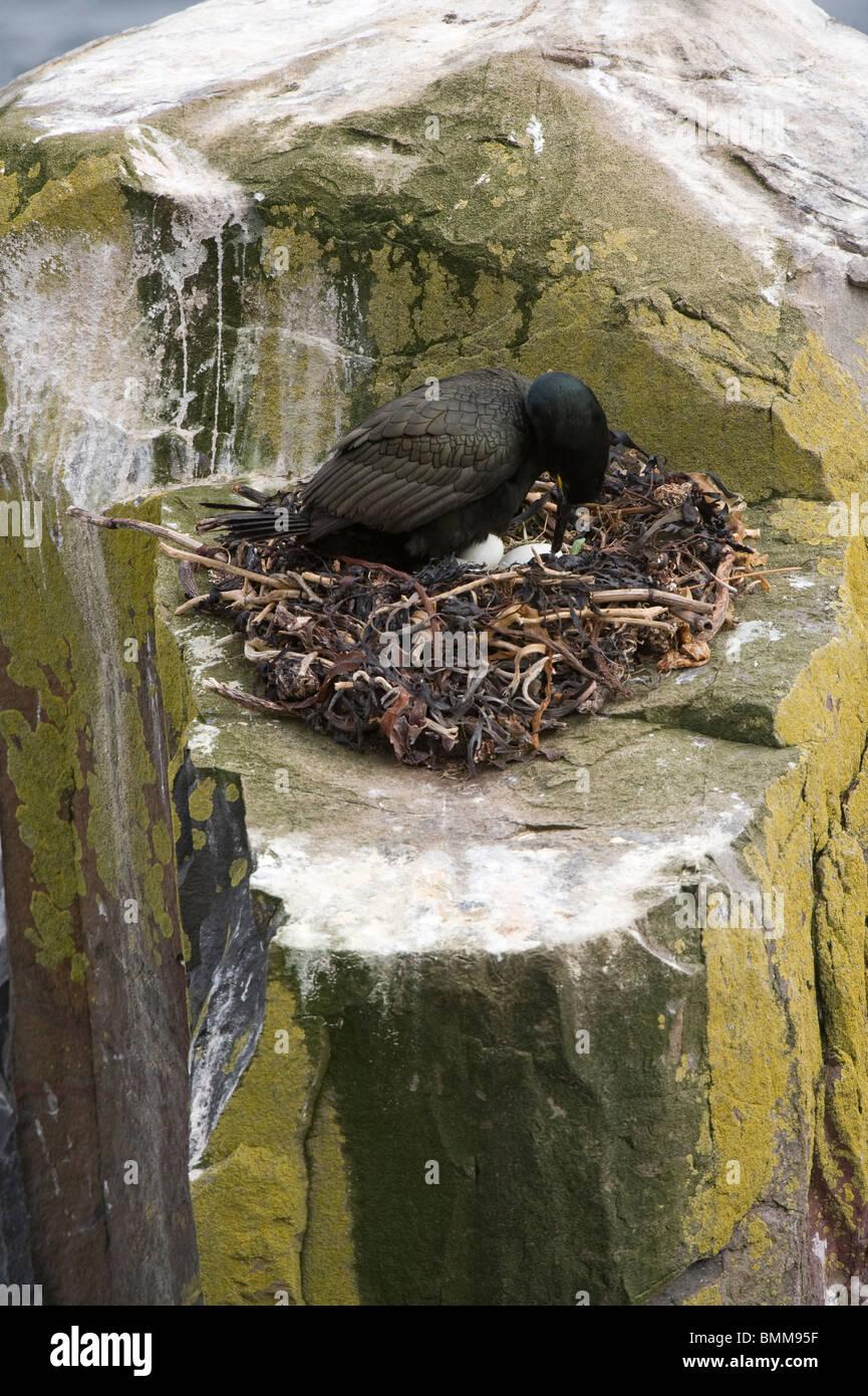 European Shag (Phalacrocorax aristotelis) nest with eggs, Staple Island, Farne Islands, Northumberland, England, - Stock Image