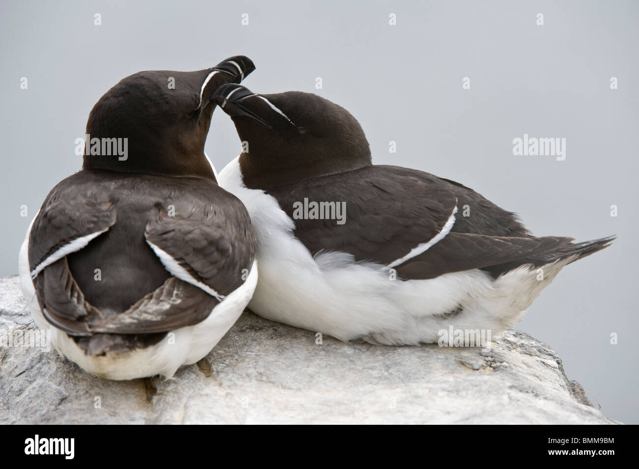The Razorbill (Alca torda) pair bonding behaviour Farne Islands, Northumberland Coast, England, UK, Europe, June Stock Photo