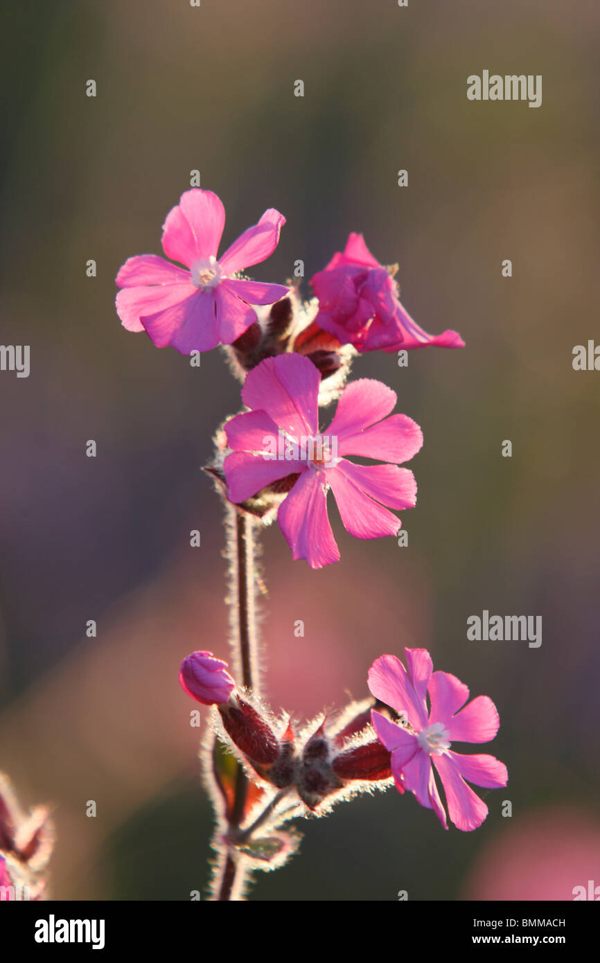 Red Campion flowers Stock Photo