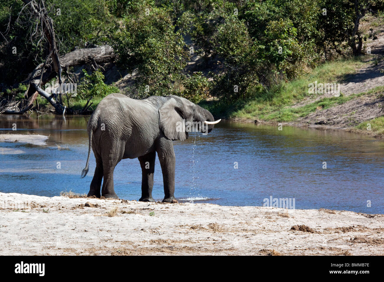 An African Elephant (Loxodonta africana) drinking from the newly flooded Savuti Channel in Northern Botswana. - Stock Image
