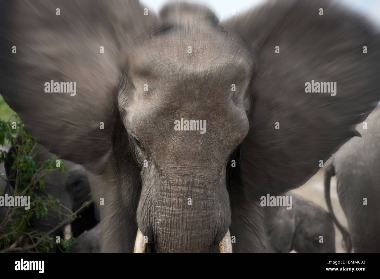 A charging African Elephant (Loxodonta africana) in the Savuti region of Northern Botswana. - Stock Image