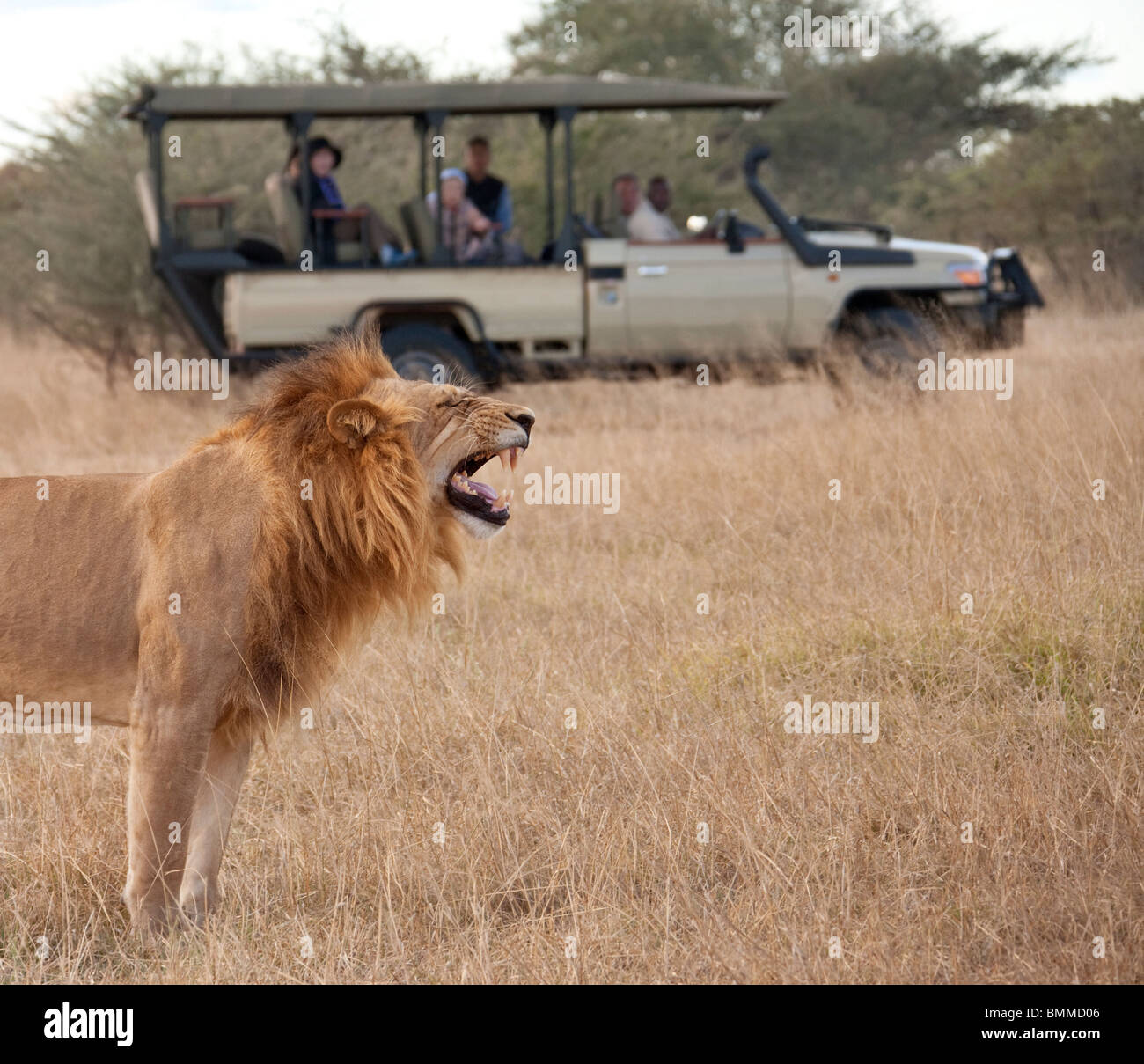 Tourists on Safari looking at a mature male lion (Panthera leo) in the Savuti Region of Botswana. - Stock Image