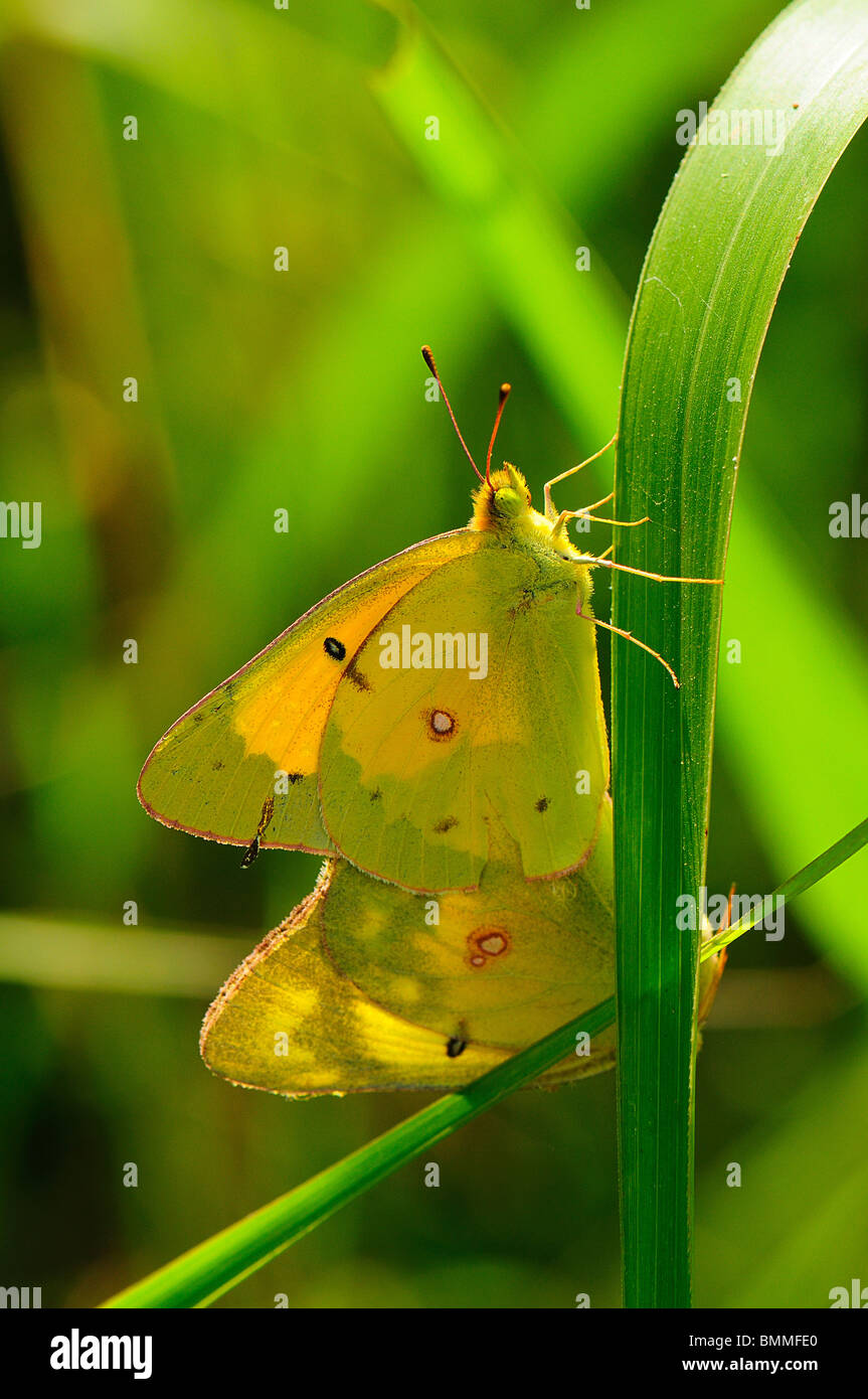 Orange Sulphur mating Stock Photo