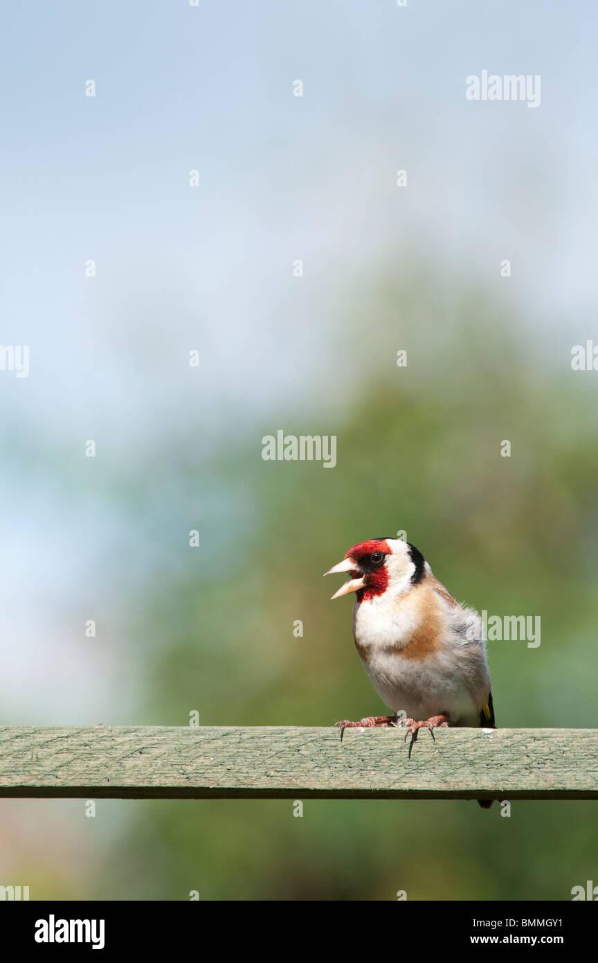 Goldfinch in an english garden. UK Stock Photo