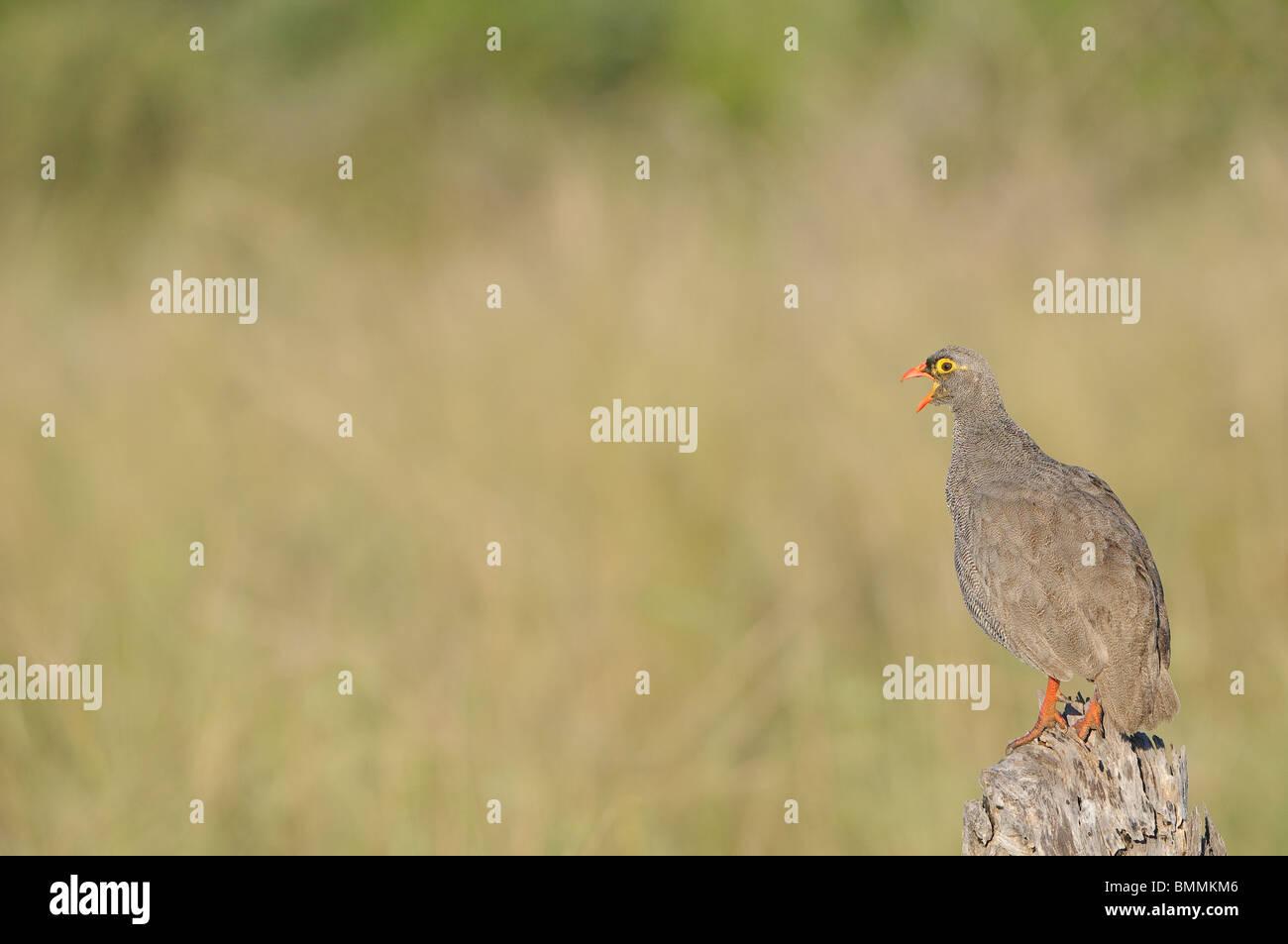 Partridge (Phasianidae) calling, Mapungubwe Game Reserve, Limpopo Province, South Africa - Stock Image