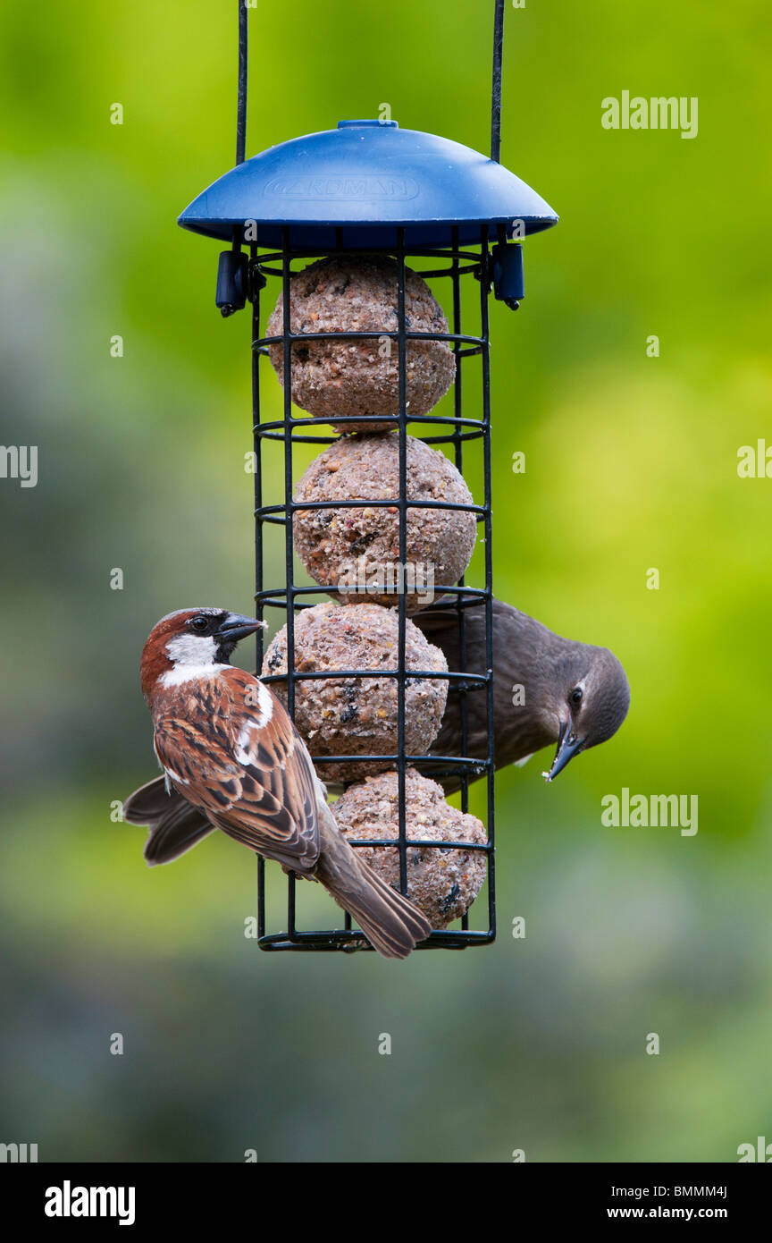 Sturnus vulgaris and Passer domesticus. Juvenile Starling and house sparrow feeding on a suet ball feeder - Stock Image