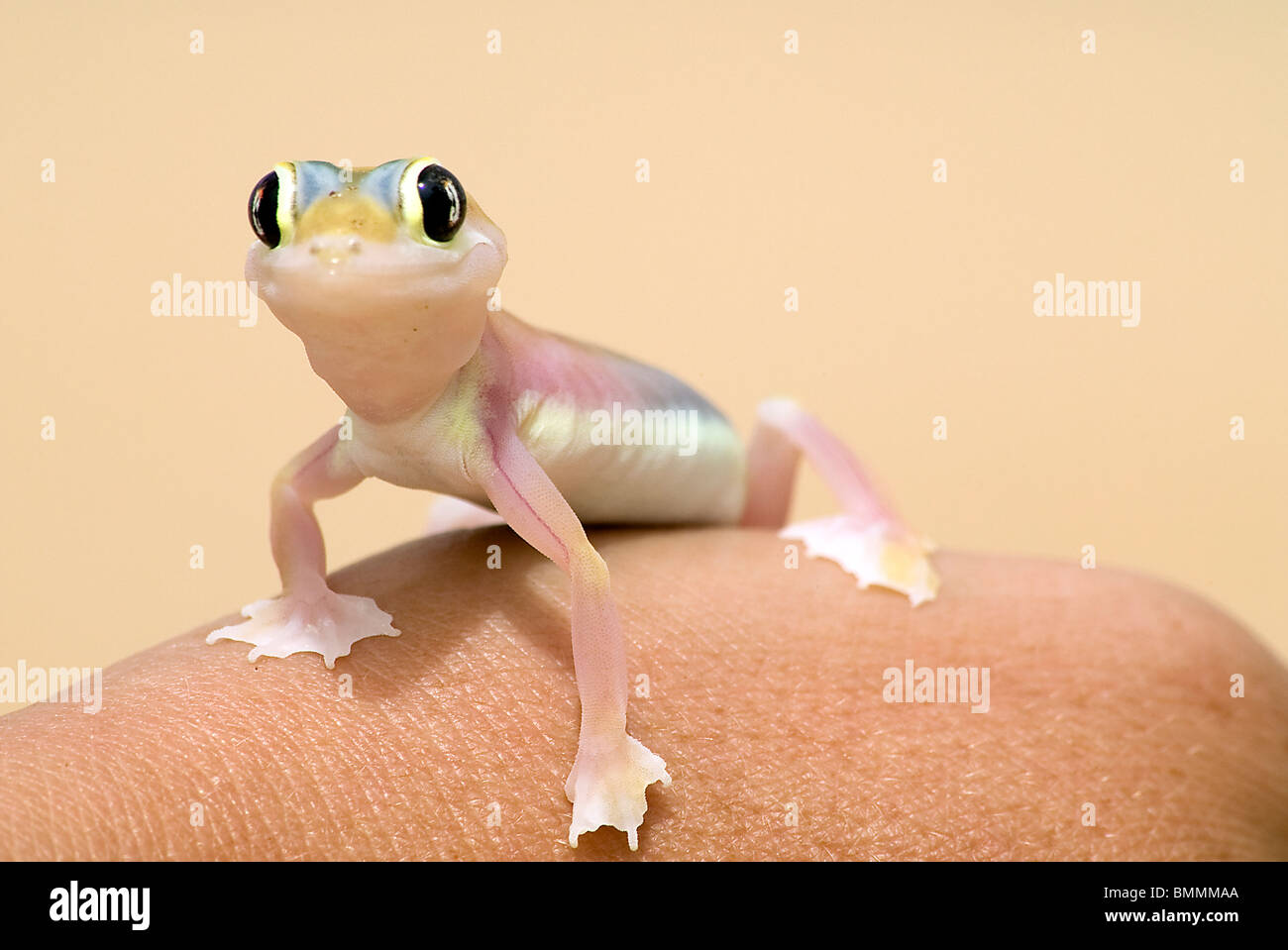 Close-up view of Web-Footed Gecko, Namibia Stock Photo