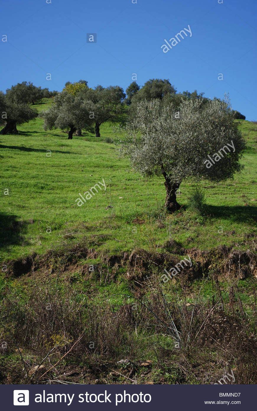 Olive Tree Field Andalucia Spain Stock Photos Olive Tree Field