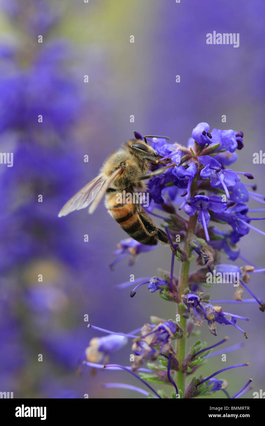 HONEY BEE (Apis melifera) TAKING NECTAR FROM FLOWER - Stock Image