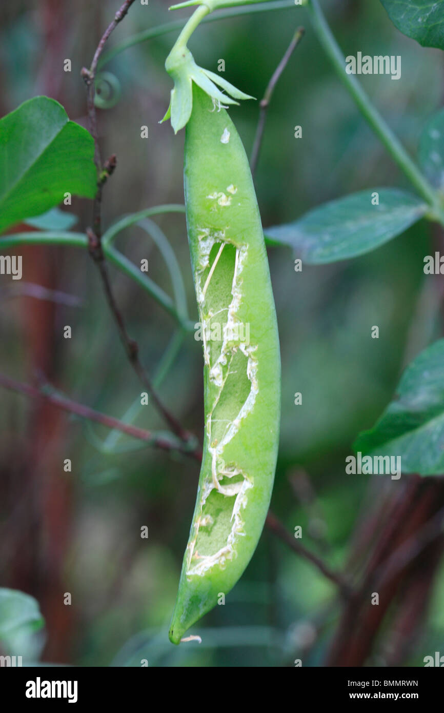 TRIANGULAR HOLES IN PEA PODS IS THE TRADEMARK OF THE JAY - Stock Image