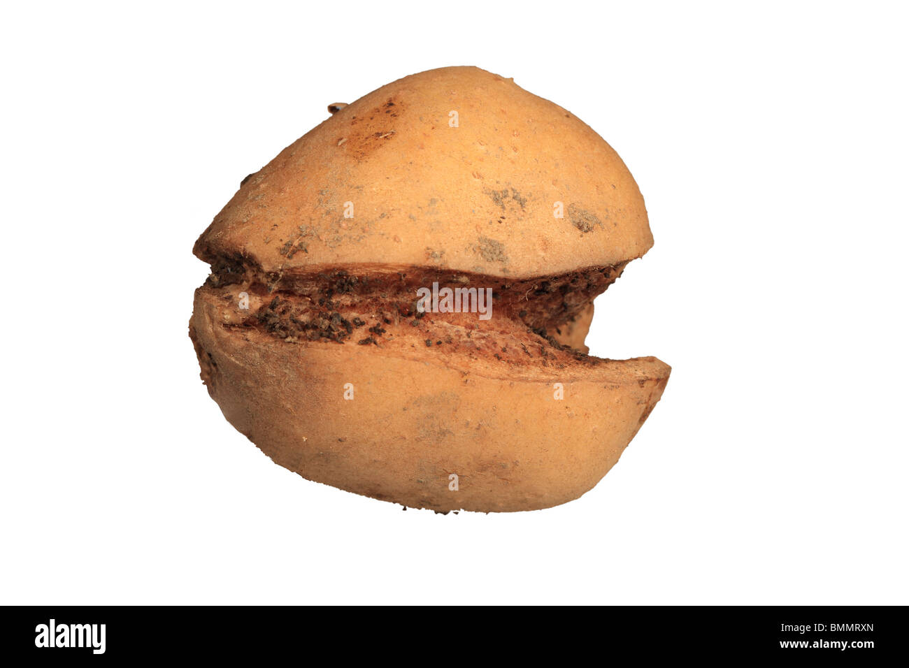 GROWTH CRACK IN POTATO CAUSED BY DRY PERIOD FOLLOWING RAPID GROWTH - Stock Image