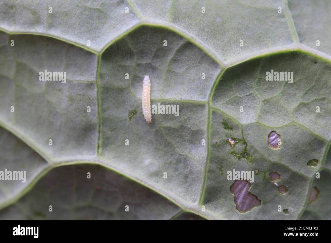 SMALL WHITE (Pieris rapae) THE EGGS ARE LAID SINGLY N THE UNDERSIDES OF THE LOWER LEAVES OF BRASSICA PLANTS - Stock Image
