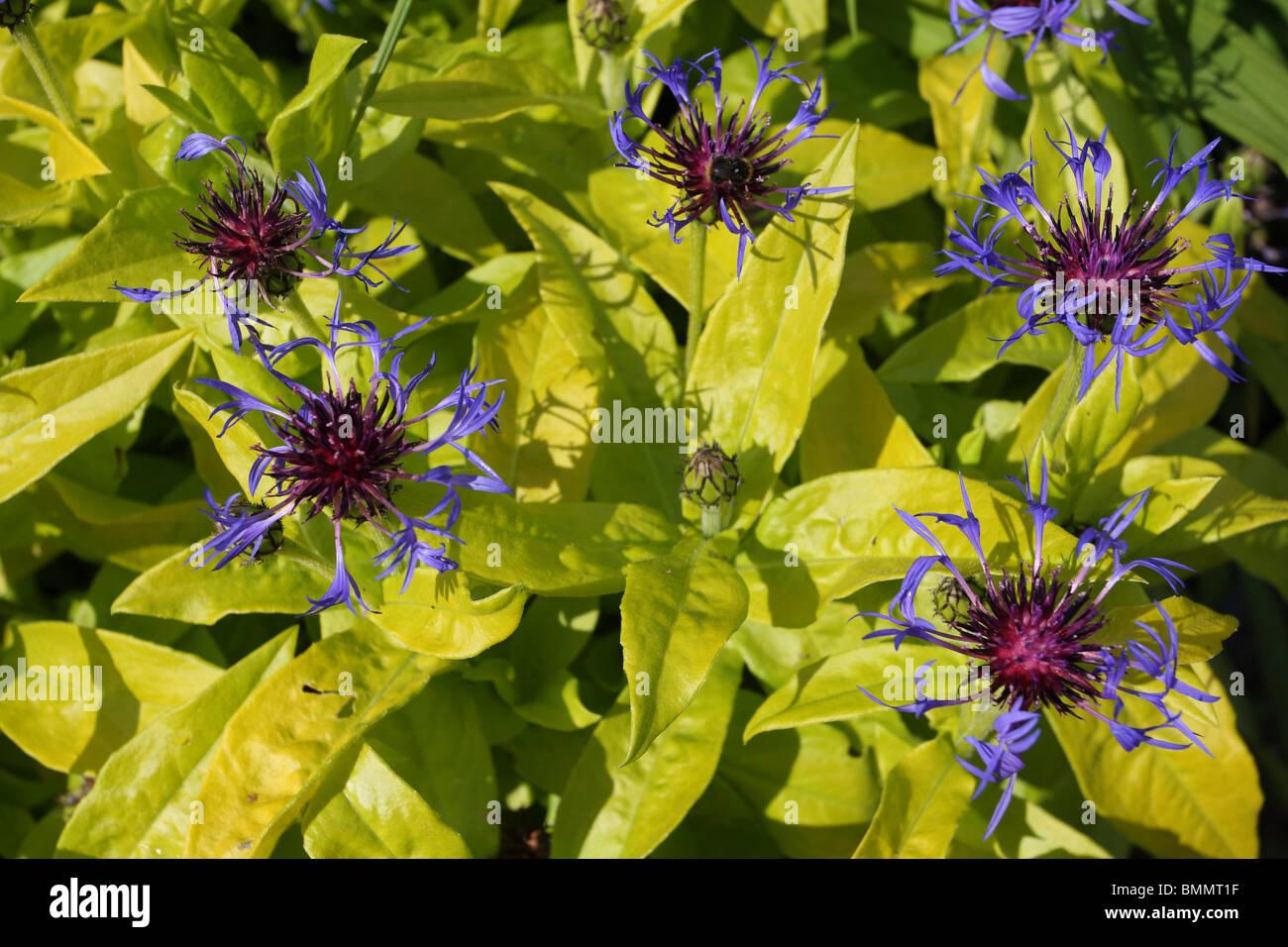 CENTAUREA MONTANA GOLD BULLION PLANT IN FLOWER - Stock Image