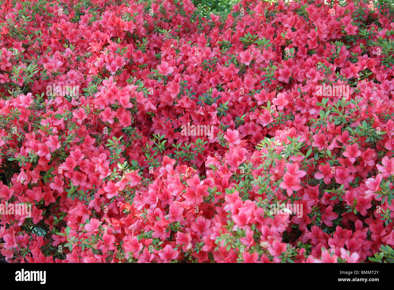 RHODODENDRON FLORIDA PLANTS IN FLOWER Stock Photo