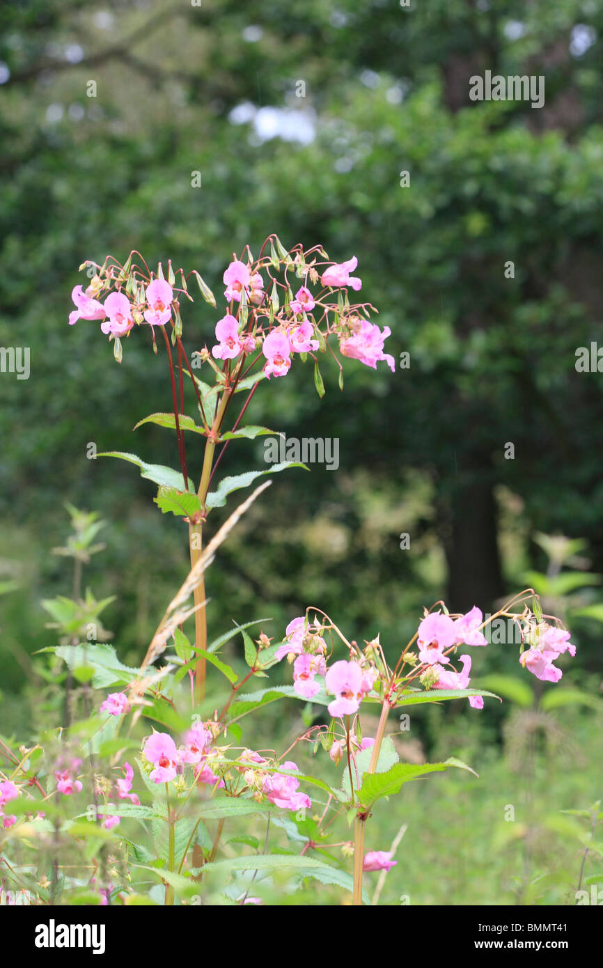 HIMALAYAN BALSAM (Impatiens balsamifera) PLANT IN FLOWER - Stock Image