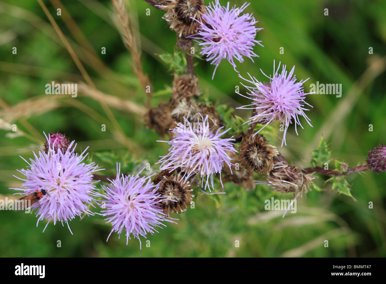 CREEPING THISTLE (Cirsium arvense) CLOSE UP OF FLOWERHEAD TOP VIEW - Stock Image
