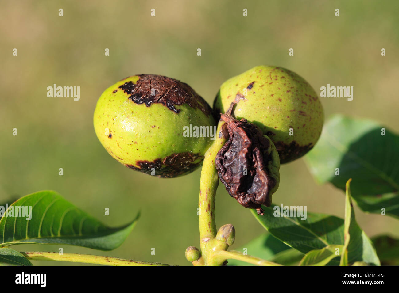 WALNUT LEAF BLOTCH (Gnomonia leptostyla) ON DEVELOPING WALNUTS - Stock Image