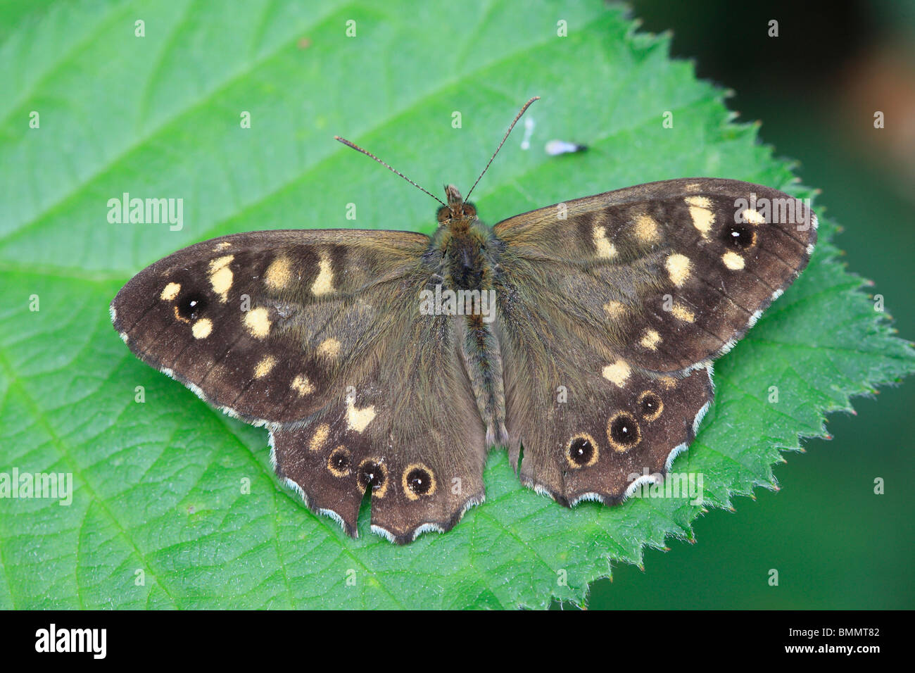 SPECKLED WOOD (Pararge aegeria) AT REST ON BRAMBLE LEAF - Stock Image
