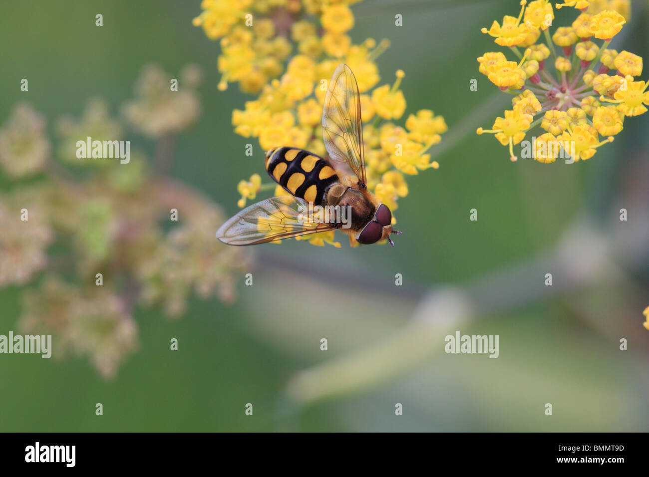HOVERFLY (Chrysotoxum spp.) FEEDING ON FLOWER - Stock Image