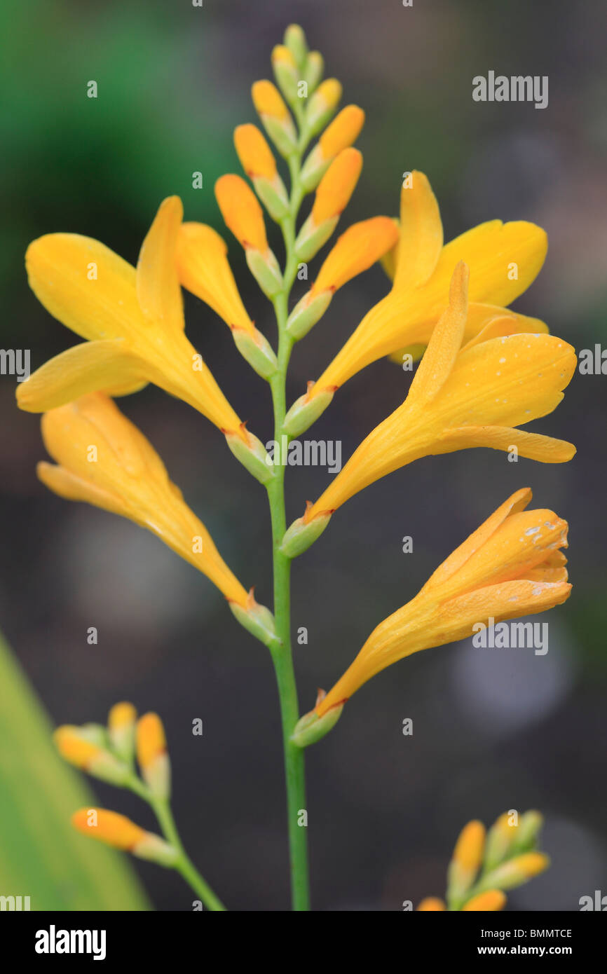 CROCOSMIA HONEYBELLS CLOSE UP OF FLOWERHEAD - Stock Image