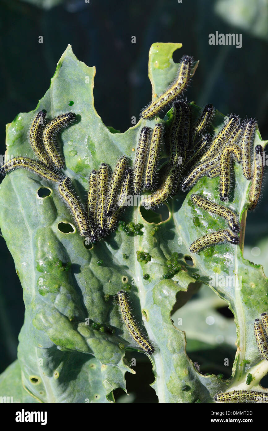 LARGE WHITE (Pieris brassicae) CATERPILLARS ON CABBAGE LEAF - Stock Image