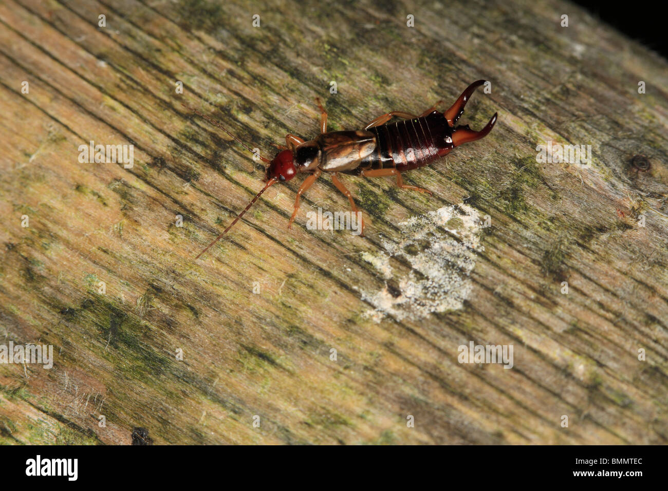 EARWIG (Forficula auricularia) MALE ON WOODEN POST - Stock Image
