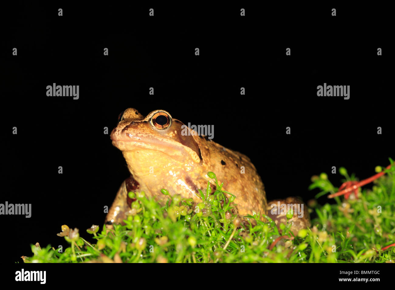 COMMON FROG (Rana temporaria) SITTING IN PLANT BORDER AT NIGHT FRONT VIEW - Stock Image
