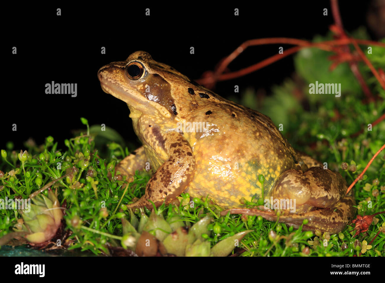 COMMON FROG (Rana temporaria) SITTING IN PLANT BORDER AT NIGHT SIDE VIEW - Stock Image