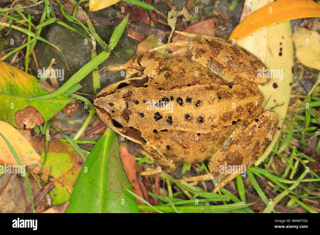 COMMON FROG (Rana temporaria)TOP VIEW - Stock Image
