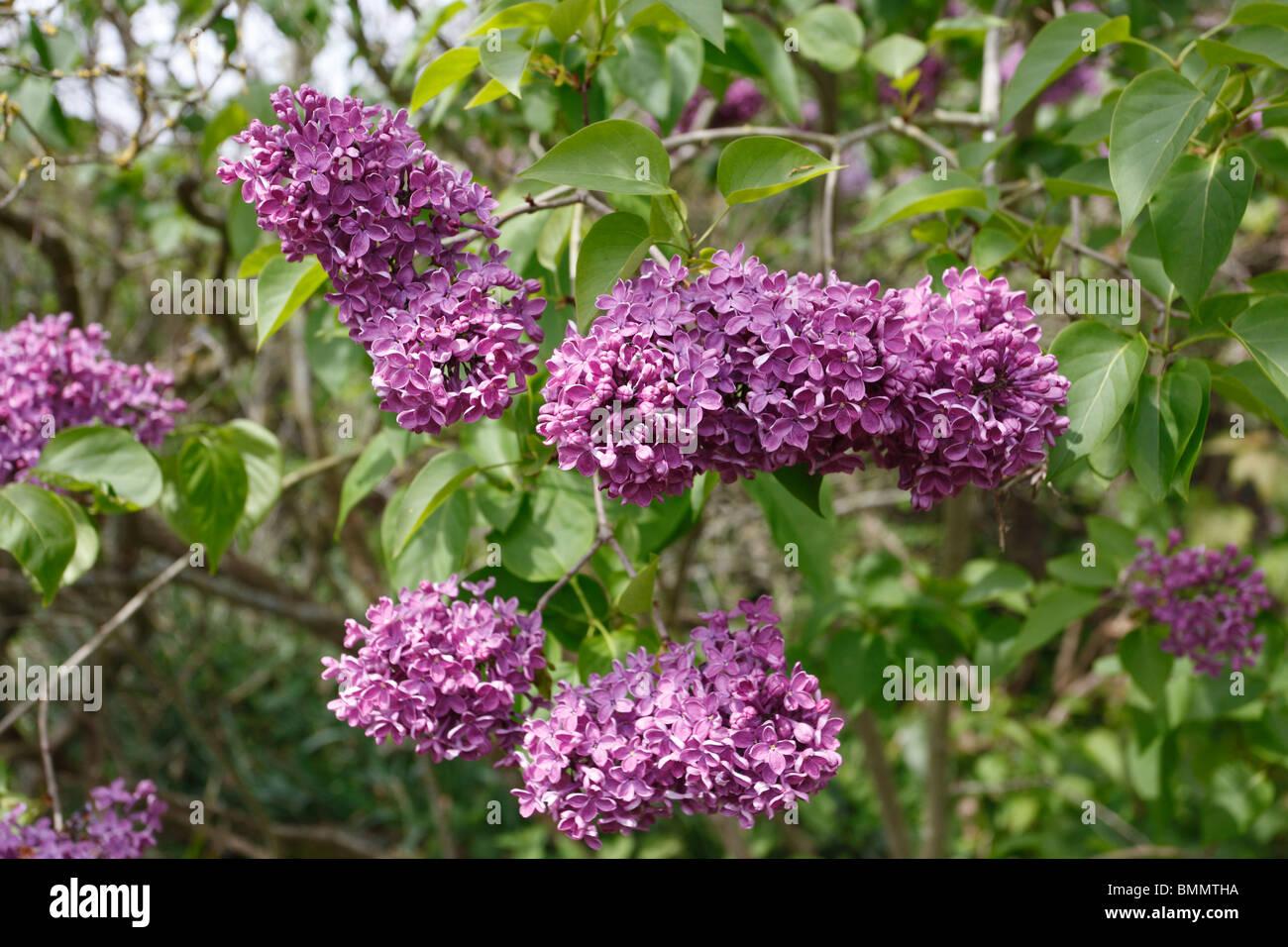 Common lilac (Syringa vulgaris) shrub in flower - Stock Image