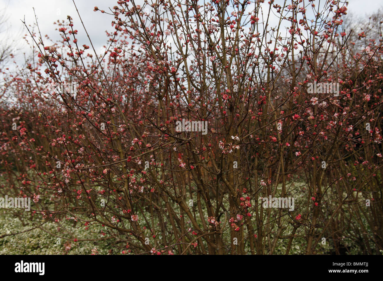 viburnum x bodnantense dawn shrub in flower stock photo. Black Bedroom Furniture Sets. Home Design Ideas