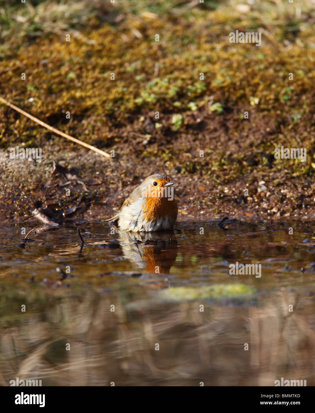 Robin (Erithacus rubecula) bathing in pond - Stock Image