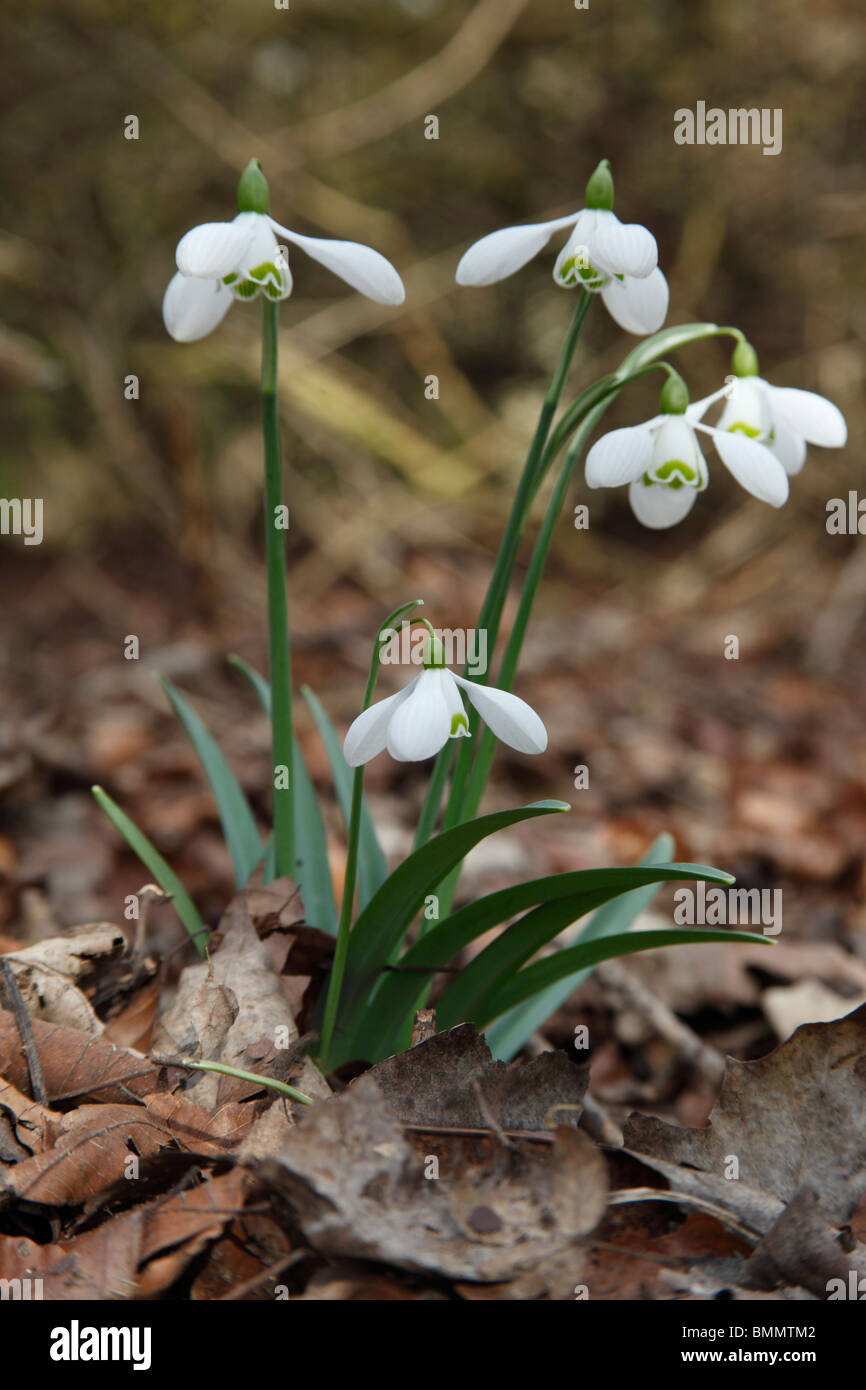 Snowdrop (Galanthus nivalis) close up of flowers in woodland - Stock Image