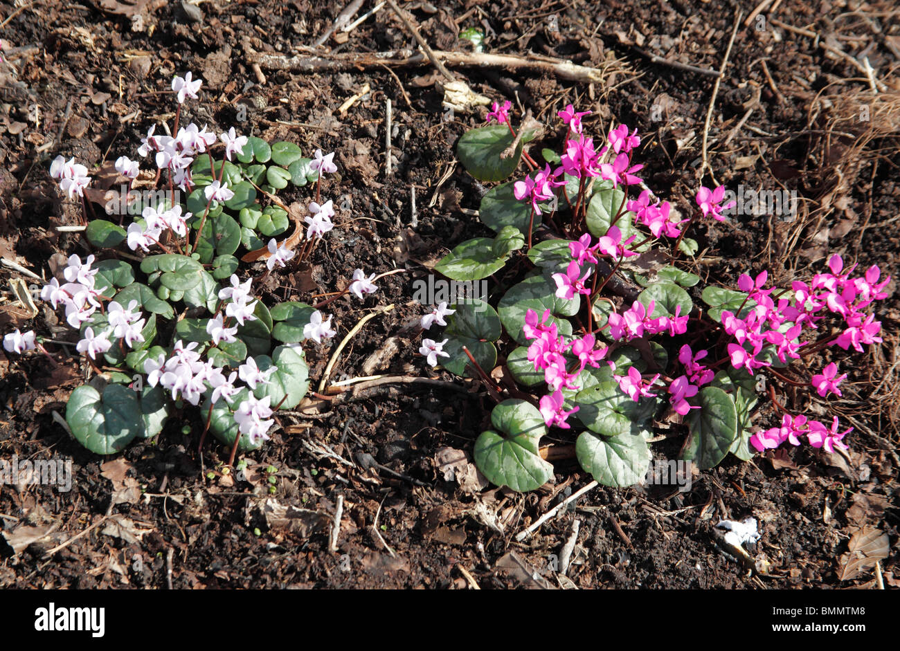 Cyclamen coum variants in flower - Stock Image