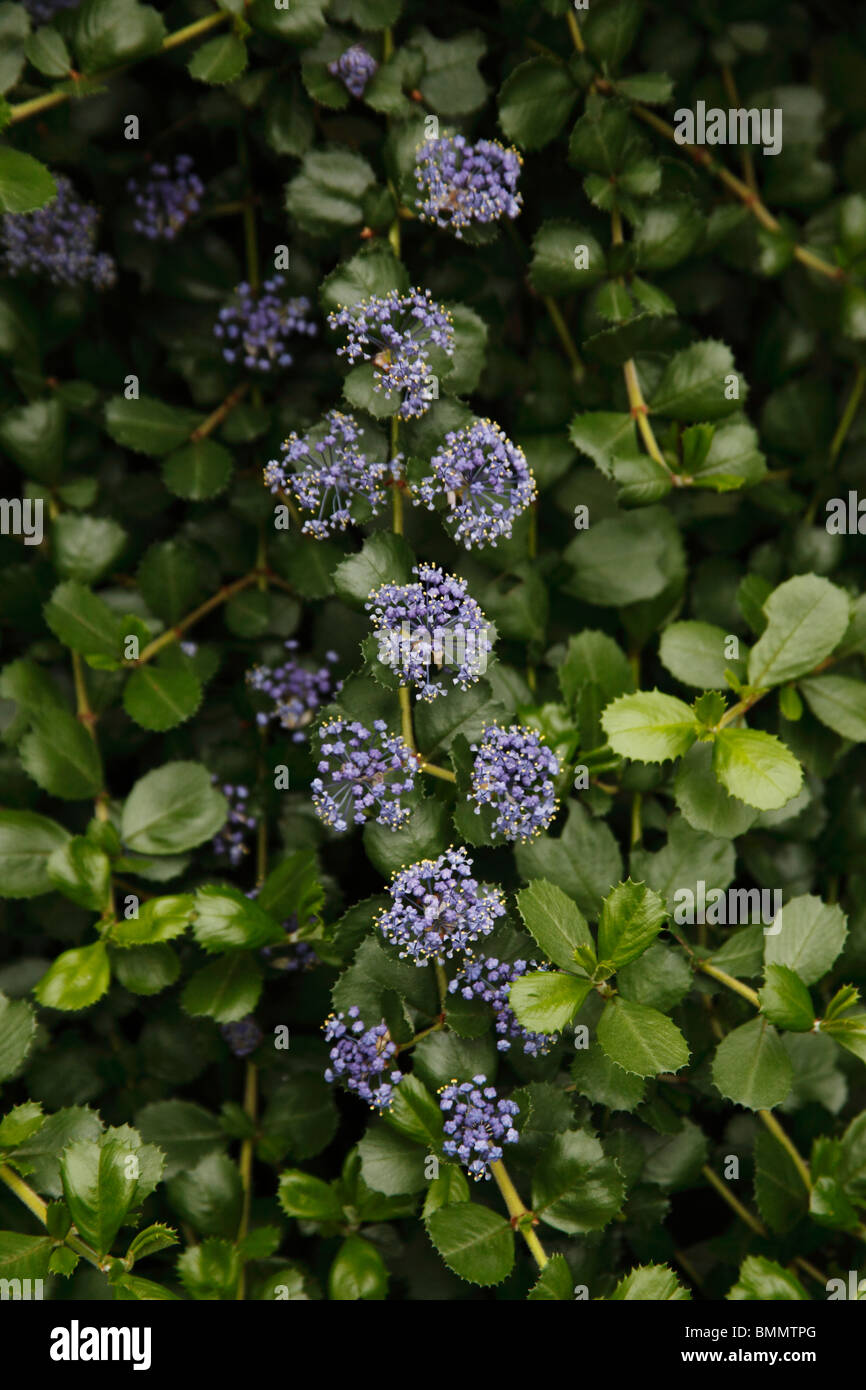 Californian lilac (Ceanothus) close up of flower - Stock Image