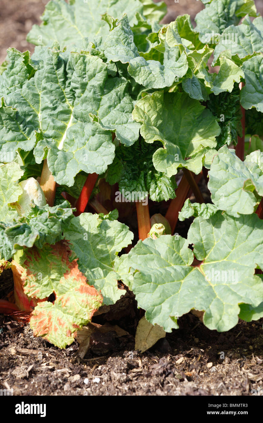 Rhubarb (Rhuem x Timperly early) - Stock Image