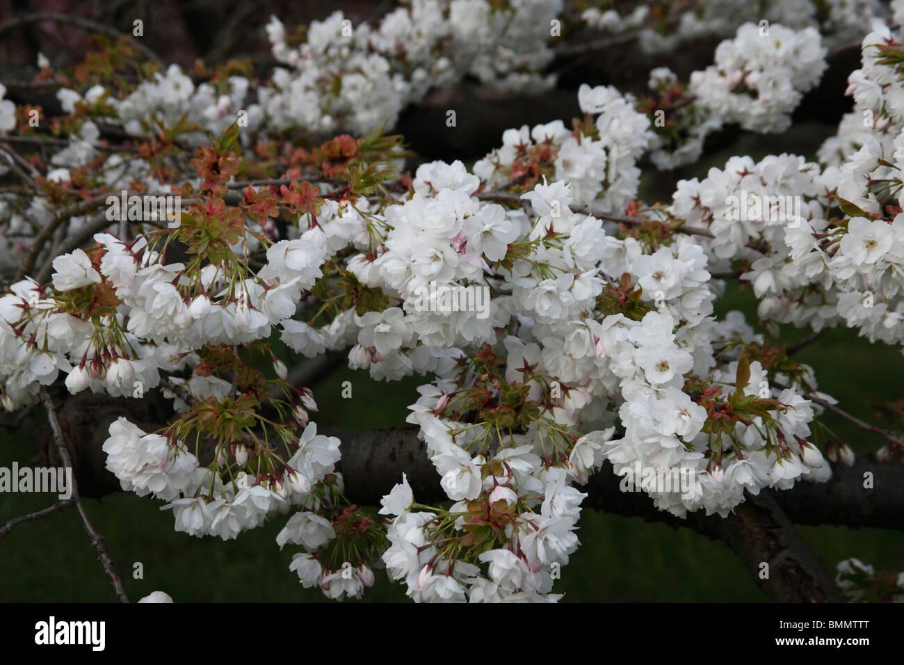 Prunus Shirolae tree in flower - Stock Image