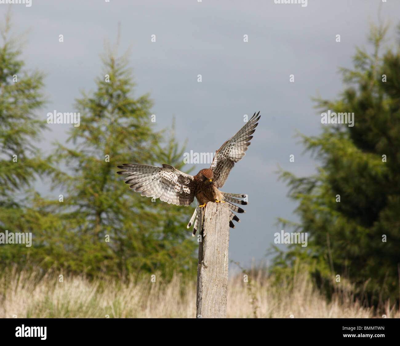 Kestrel (Falco tinnunculus) female landing on fence post - Stock Image
