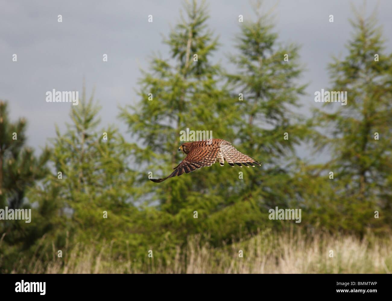 Kestrel (Falco tinnunculus) female in flight side view - Stock Image