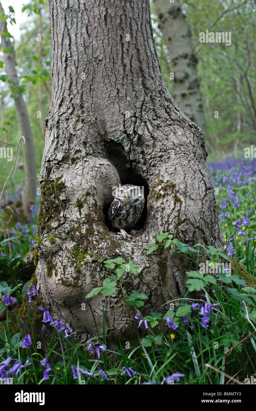Little owl (Athene noctua) at nest in ancient woodland - Stock Image