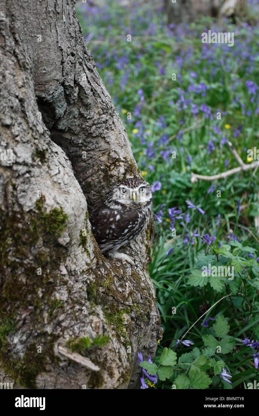 Little owl (Athene noctua) at nesthole in ash tree - Stock Image