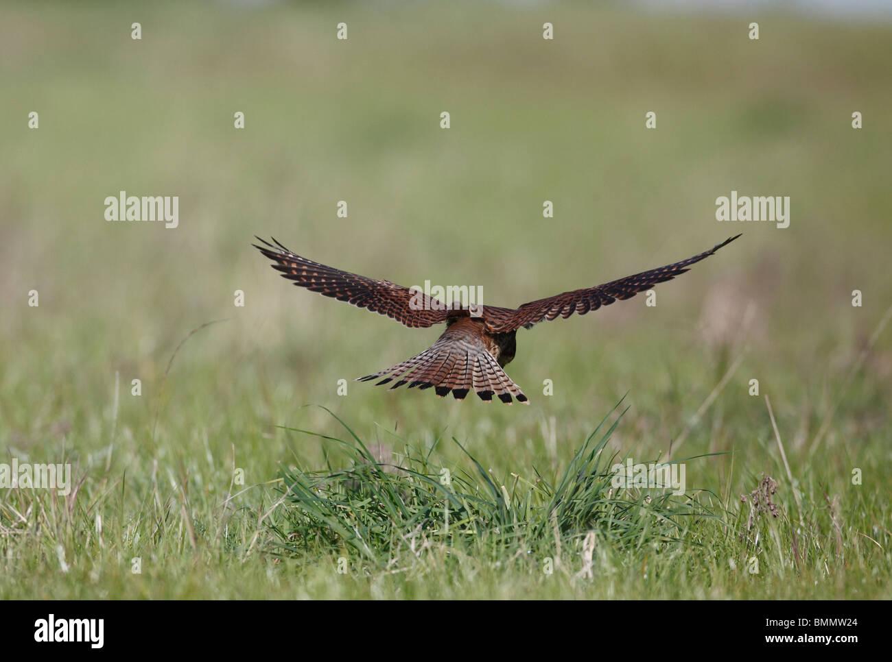 Kestrel (Falco tinnunculus) hovering over long grass backview - Stock Image