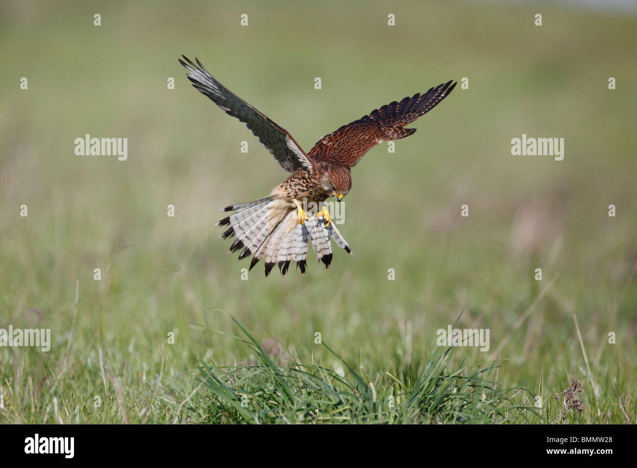 Kestrel (Falco tinnunculus) hunting over grassland - Stock Image