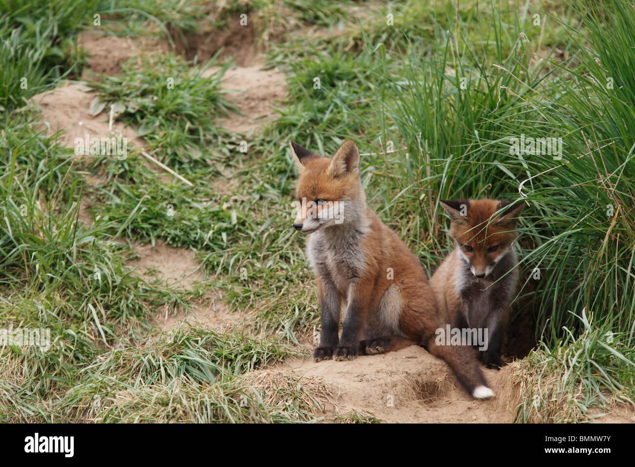 Fox (Vulpes vulpes) cubs sitting at earth entrance - Stock Image