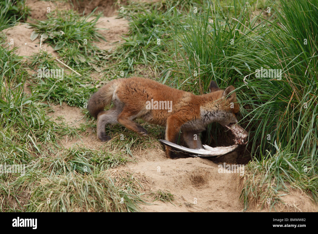 Fox (Vulpes vulpes) cub carrying wing bone into earth - Stock Image