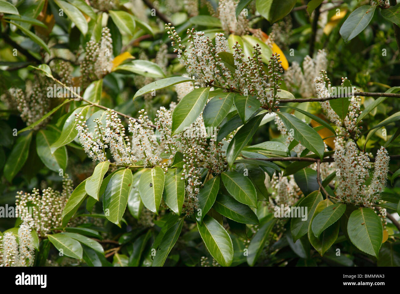 laurel (Prunus laurocerasus) tree in flower - Stock Image